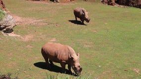 Rhinoceros in the wild stock video