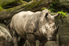 Rhinoceros in the wild with trees and rocks in the background Royalty Free Stock Photography