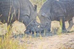 Rhinoceros in the wild Stock Photo