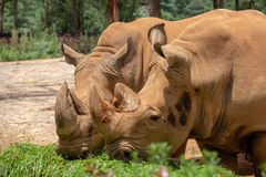 Rhinoceros is the world`s largest hoofed animal. Rhinoceros has short legs and awkward body. The front and rear limbs are three-to. Ed, and the skin is rough. It royalty free stock image