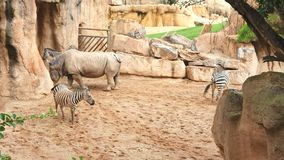 Rhinoceros and zebras walk on sandy soil in a wildlife Park.  stock footage