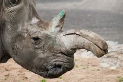 Rhinoceros Stock Image