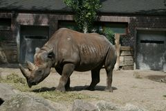 Rhinoceros at the zoo. A rhinoceros at the Berlin zoo standing peacefully Royalty Free Stock Image