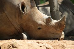Rhinoceros at the zoo. Sleepy rhino lying on the ground at the zoo Royalty Free Stock Photo