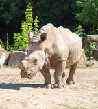 Rhinoceros. In zoo (Dvur Kralove stock images