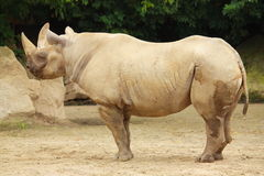 Rhinoceros in the zoo in Dvur Kralove. Royalty Free Stock Image