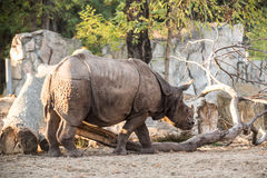 Rhinoceros at the zoo Royalty Free Stock Photo