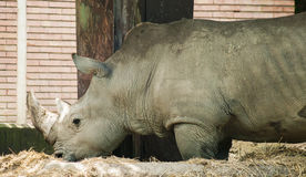 Rhinoceros In The zoo, Outdoor Royalty Free Stock Photo