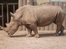 Rhinoceros in the zoo 3 Royalty Free Stock Photography