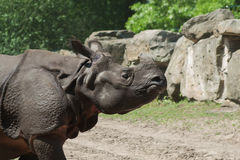 Rhinoceros in the zoo Stock Photography