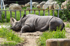 Rhinoceros at the zoo Royalty Free Stock Photography