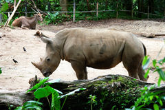 Rhinoceros in the zoo. stock photos