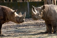Rhinoceros in the zoo Royalty Free Stock Photo
