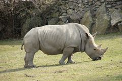 Rhinoceros in zoological garden Royalty Free Stock Photography