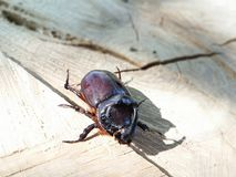 Rhinocerosbeetle Royalty Free Stock Photography