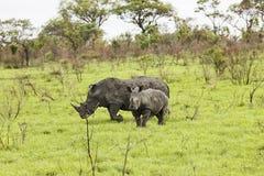 Rhinoceroses in savanna Stock Photos