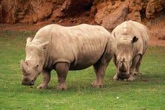 Rhinocerotidae Royalty Free Stock Photos