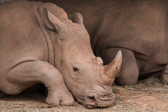 Rhinocerotidae Images stock
