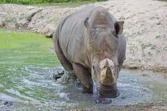 Rhinocerous动物 免版税图库摄影