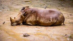 Rhinocerous在地面上睡觉 免版税库存图片