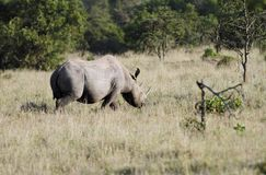 黑Rhinocerous在大草原草原,肯尼亚 免版税库存图片
