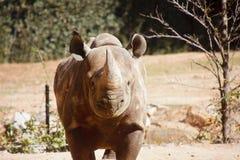 rhinocerous平直 库存照片