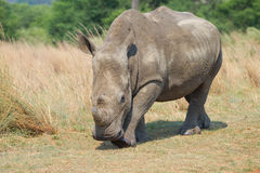 Rhinocerous接近 免版税库存图片