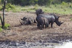 Rhinocerous牧群在泥泞的河岸的 免版税图库摄影