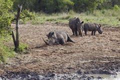Rhinocerous牧群在泥泞的河岸的 免版税库存图片