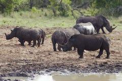 Rhinocerous牧群在泥泞的河岸的 免版税库存照片