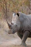 rhinocerous白色 库存照片