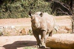 rhinocerous的日志 免版税库存图片