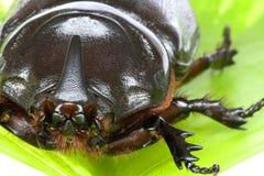 rhinocerous的甲虫 库存图片
