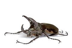 rhinocerous的甲虫 免版税库存照片