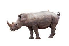 Rhinocerous με το πουλί στην πλάτη που απομονώνεται Στοκ φωτογραφία με δικαίωμα ελεύθερης χρήσης