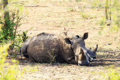 Rhinocerous лежа в парке Kruger Стоковое Фото