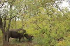 Rhinocerous水牛在克鲁格国家公园,南非 图库摄影
