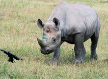 Rhinocerous 10 Immagini Stock