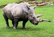 rhinocerous 库存照片