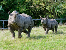 Rhinocerous Royalty Free Stock Photo