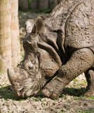 Rhinocerous images stock