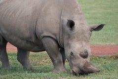 Rhinocerous Arkivbild