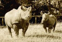 rhinocerous Obraz Royalty Free