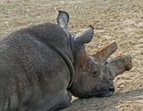 Rhinocerous 19 Royalty Free Stock Images