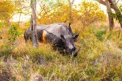 Rhinocerous 图库摄影