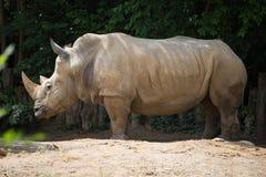 Rhinocerous Στοκ εικόνα με δικαίωμα ελεύθερης χρήσης