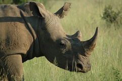 Rhinocerous 免版税库存照片