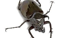 Rhinocerous Beetle Royalty Free Stock Images
