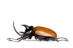Rhinocerous Beetle Stock Photos