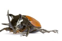 Rhinocerous Beetle royalty free stock photo